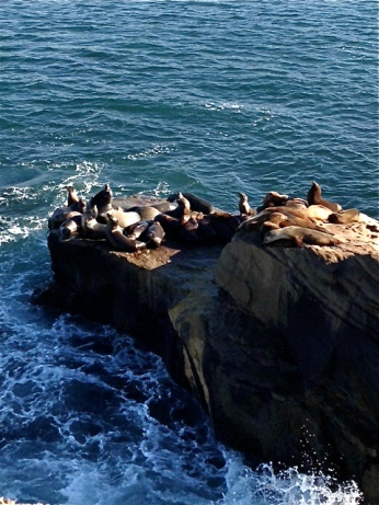 Seals at La Jolla Cove, 1/30/13